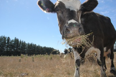 Calfie (11 year old cow) with some hay