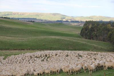 FOY sheep2