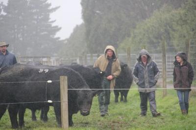 Mt Mable bulls rain2